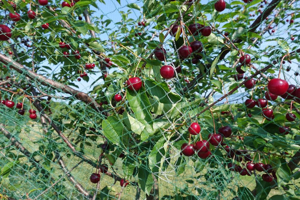 owoce w siatce zabezpieczającej